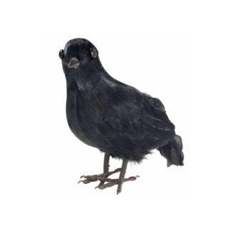 Corvo Nero con piume